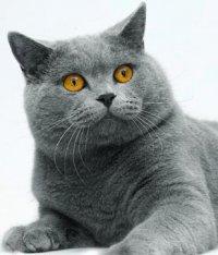 Коты толстые британские