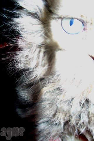 ajlis кошки