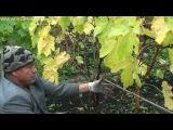 Технология выращивания винограда - ч.9