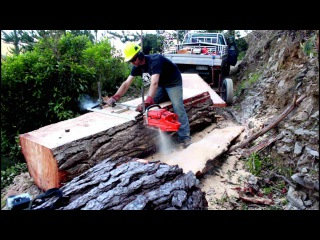 Felling a big pine tree milling slabs with a Chainsaw Mill