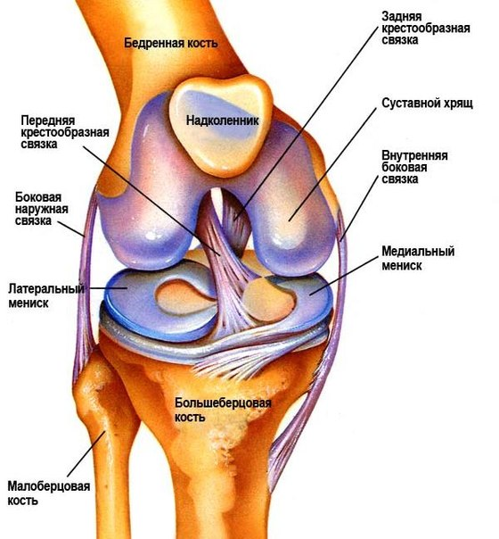 Геометрия коленного сустава зверобой и суставы
