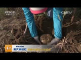 芦苇滩里的地下宝贝 (Подземные шляпочные грибы ''Бо'' - озеро ''Баграшкёль'', ''Боху'', Синьцзян-Уйгурский автономный район)。