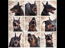 Собака нападает / Aggressive Doberman / Doberman Attacks