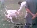 Пакистанский бультерьер VS гуль донг (Собачьи бои)