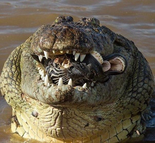 Картинка прикол крокодил, картинки пизанской