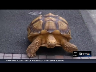 Just a casual walk with a tortoise