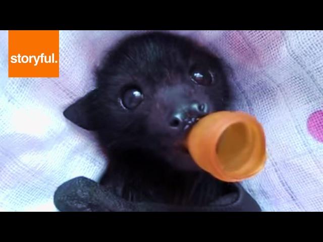 Orphan Baby Bat Enjoying Massage
