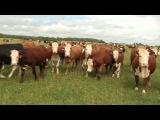 Герефордская порода скота. Содержание мясного КРС на выпасе. Коровий рай