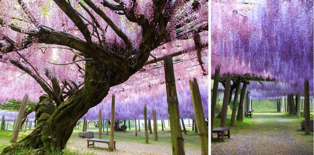 25 сказочных мест со всей планеты (Тоннель глициний, Япония)