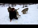 Волки помнят добро В 2008 году эта девушка вырастила щенков волчат. Через 4 года они вновь встретились, в дикой природе.