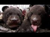 Медвежат-подкидышей воспитывают в собственной квартире