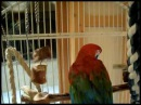 A Greenwing Macaw Christmas