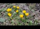 Крокусы в саду. Ранние сорта. Сайт