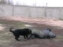 Бой без правил. Человек против собаки. КСС КАСКАД Fight without rules. Man vs. dog.