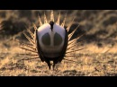 Body popping sage grouse Nature's Greatest Dancers Episode 1 Preview BBC One