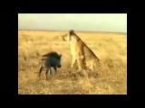 Битва кабан против льва