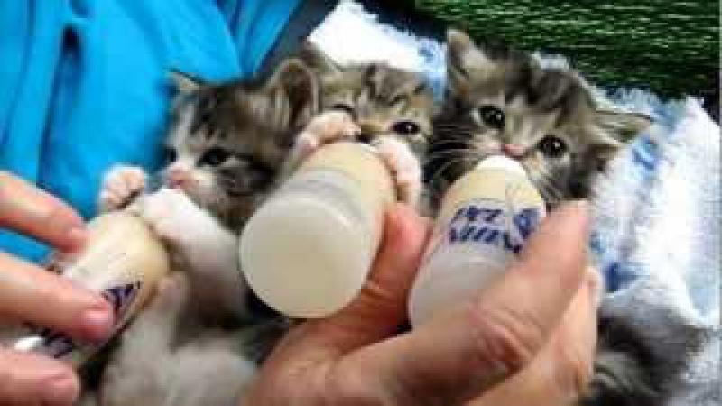 Baby Kittens All Settled for the Long Awaited Bottles