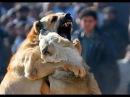 СОБАЧЬИ БОИ бойцовская собака против огромного белого пса!