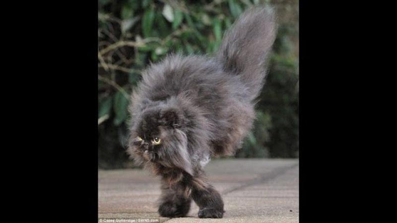 Двулапый котик