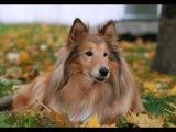 Колли длинношёрстный (шотландская овчарка), все породы собак, 101 dogs. Введение в собаковедение.