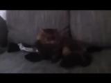 Кот кидает зигу.