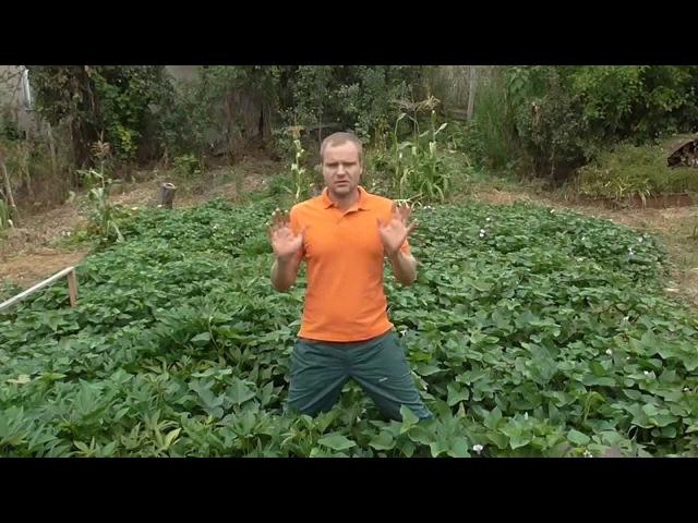 Как увеличить урожай батата