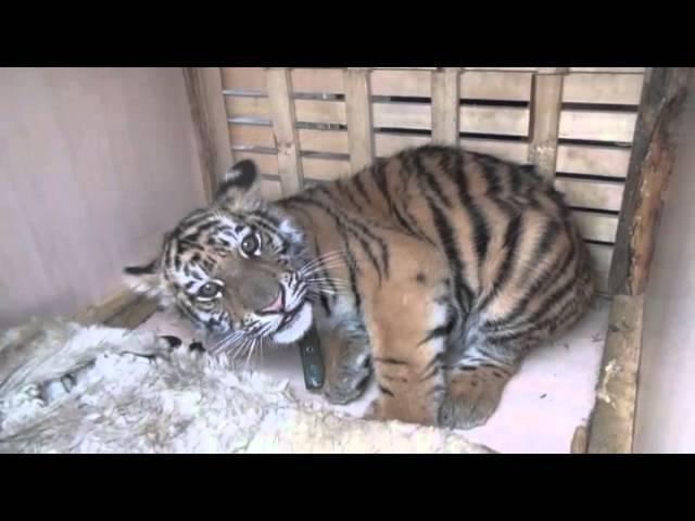 Полицейские доставили в Москву спасенного от злоумышленников амурского тигренка