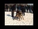 Собачьи бои алабай Дед АЛАПАРА vs алабай  БОСС