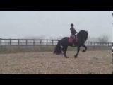 Hille FT, Friesian Sport Horse, Z Dressage Level.