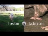 Это Мигель, как и все свиньи он нежный, дружелюбный и миролюбивый! Будьте людьми - откажитесь от поедания животных!