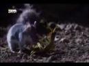 Centopéia gigante x Rato Gafanhoto
