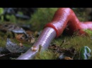 Monster leech swallows giant worm Wonders of the Monsoon Episode 4 BBC Two