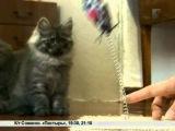 Зверская жизнь. Сибирские кошки