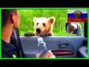 Bears on the road / Медведи на дороге АвтоСтрасть