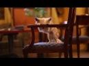 Chihuahua Daisy - dog tricks