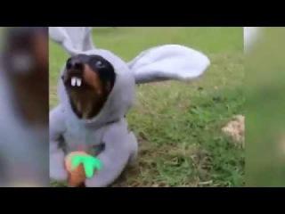 Пасхальный кролик-собака!  Easter Bunny Dog!