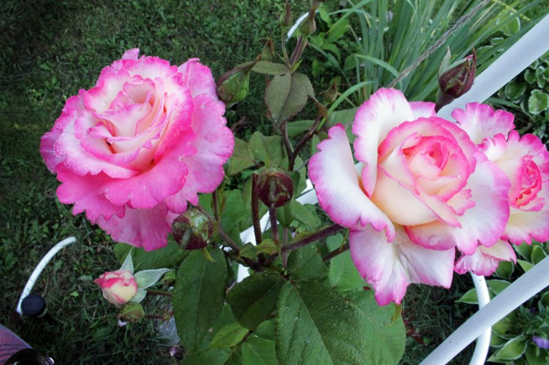 Уход за розами. Подкормка роз