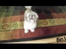 Собака Коди не умеет лаять, зато она смешно и громко орёт / Cody - The Dog Who Screams Like a Man