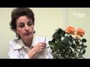 Почему сохнут комнатные миниатюрные розы. Сайт Садовый мир