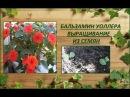 Бальзамин Уоллера Выращивание из семян