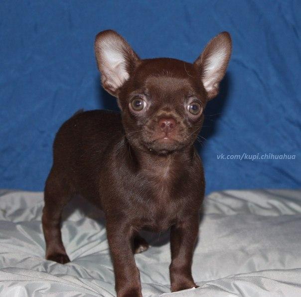 фото шоколадные чихуахуа