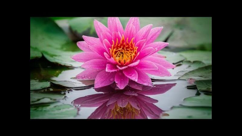 Всем доставляет наслажденье ... Flower delight Лотос Lotus