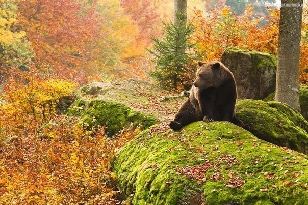 Медведь в лесу, Канада