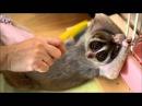 Brushing cute Slow Loris