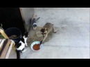 Raccoon Steals Cats' Food Original