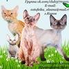 """Питомник """"Big Cullinan"""" - котята ДЕВОН-РЕКС"""