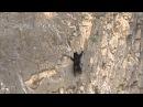 Медведи лезут по отвесной скале