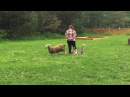 Шерлок Batonas Gyvates Asara пасет овец