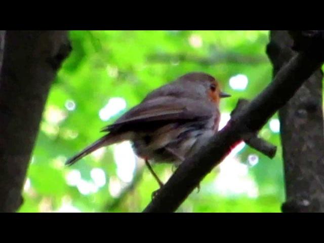 Пение малиновки (зорянки)