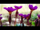 Примула растение для тенистого цветника